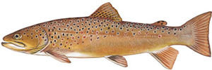 Cherokee Creek BrownTrout