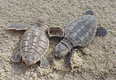 DNR biologists report that loggerhead sea turtles have laid more nests on the South Carolina coast this season than any previous year on record. (Photo: USFWS)
