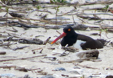 Some bird species such as American oystercatcher (photo shows an adult incubating eggs) nest on public beaches, and DNR encourages South Carolinians and visitors to the state to share the beach with these amazing birds. (DNR photos)