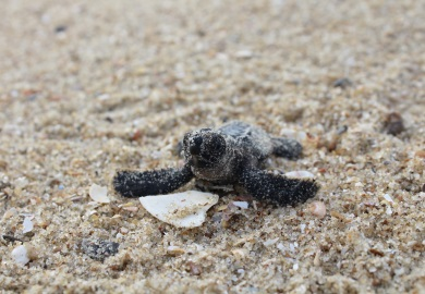 The SCDNR sea turtle program helped more than 300,000 loggerhead hatchlings make it off South Carolina beaches this year.