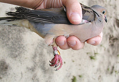 Banded dove