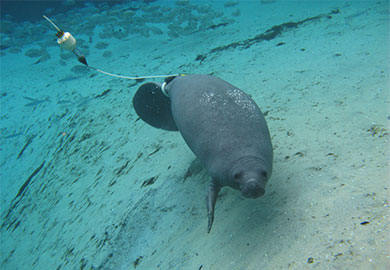 A manatee is shown with a radio transmitter tag. Coastal residents and visitors are encouraged to report all manatee sightings online, and DNR will be keeping close tabs on one manatee in particular. (Photo courtesy of Sea to Shore Alliance)