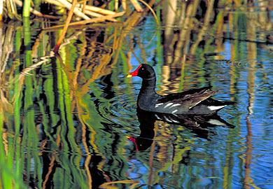 Marsh hen teal season gets underway for Sc fishing license age