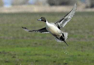 Pintail pic from S.C. Department of Natural Resources