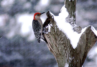 Woodpecker on a tree snag