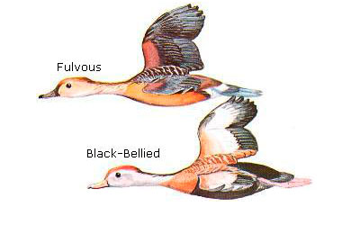 Biologists banding Whistling Ducks to determine range expansion