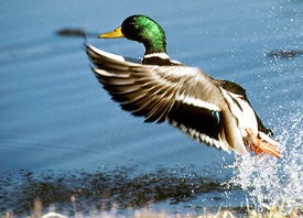 Migratory Bird Regulations