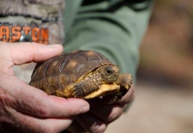 Esta tortuga es parte de un grupo criado en SREL, de huevos colectados en la Reserva de Patrimonio Aiken Gopher Tortoise, en Aiken.