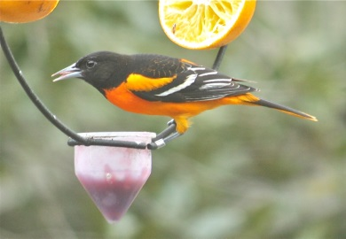 South Carolinians will get a chance to help look for Baltimore orioles, such as this male eating grape jelly at a feeder, during the S.C. Baltimore Oriole Winter Survey Feb. 17-20. (Photo by Cherrie Sneed)