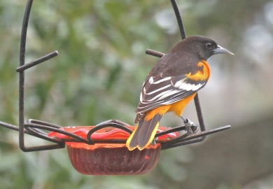 S.C. Baltimore Oriole Winter Survey and Great Backyard Bird Count set Feb. 16-19