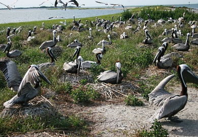 Brown pelicans once nested in large numbers on the SCDNR's Crab Bank Seabird Sanctuary. A plan to renourish the island using sand from the Charleston Harbor deepening project would provide pelicans and other coastal birds with new nesting habitat there. [SCDNR photo by Felicia Sanders]
