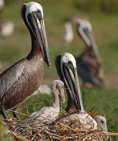 Restoration of Crab Bank will provide critical nesting habitat for brown pelicans and other coastal bird species in Charleston Harbor. [SCDNR photo by Michael Foster]