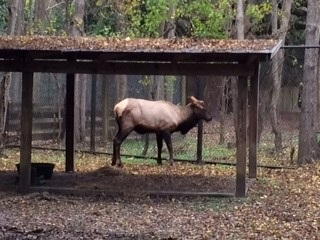 The now-infamous wandering elk that visited rural neighborhoods in the Upstate of South Carolina during November has found a new home as part of an exhibit of Colonial-era wildlife at the S.C. Department of Parks, Recreation and Tourism's Charles Towne Landing State Historic Site. It is being held temporarily in a quarantine pen until SCPRT officials determine it can be safely released into the