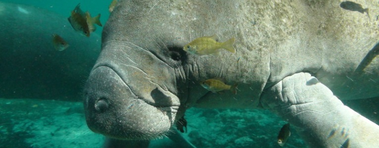 Adult manatees can be suprisingly speedy, reaching nearly 20 miles per hour when swimming in short bursts. (Photo: U.S. Fish and Wildlife Service)