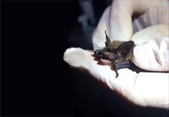 A Northern long-eared bat juvenile is examined during a bat survey. (Photo by Brent Henry)