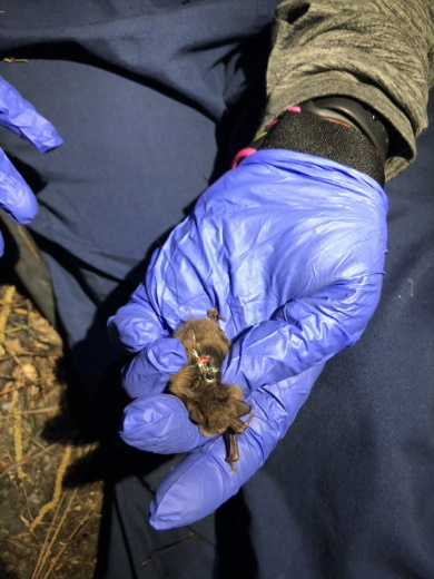 Transmitter placed on captured Northern long-eared bat before being released.
