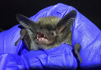 A Northern long-eared bat. (SCDNR)