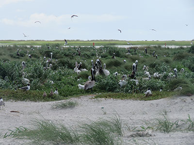 The nesting pelican colony on Deveaux Bank Seabird Sanctuary was the second largest in the Palmetto State in 2019. [SCDNR photo]
