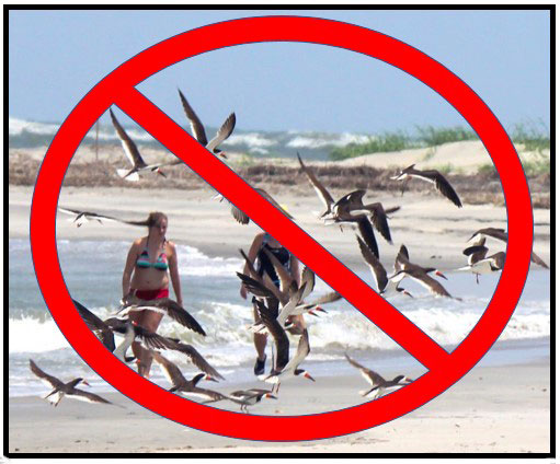 Black skimmers and other nesting shorebirds need your help!