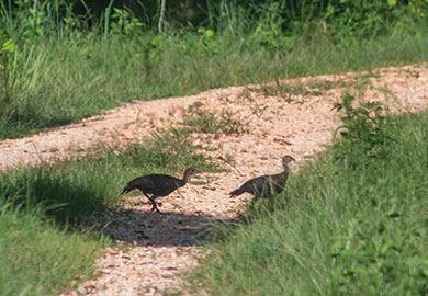 A pair of wild turkey poults approximately 2-3 months old cross a dirt road at the SCDNR's Wateree Heritage Preserve and WMA. South Carolina is noted for having the purest strain of Eastern wild turkeys. Credit: SCDNR photo .