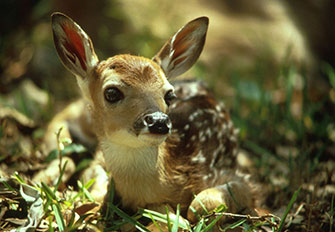 Whitetailed deer - Photo courtesy of U.S. Fish and Wildlife Service wildlife - Alligator