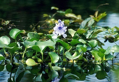 Water hyacinth is a free-floating plant that occurs sporadically throughout the state with the major concentrations in the coastal plain because of the more moderate climate.
