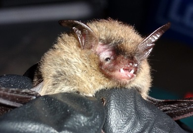 Two northern long-eared bats were recently found in Beaufort County. Historically this federally listed species was known to exist only in Upstate South Carolina.  (Photo by Jason Robinson)