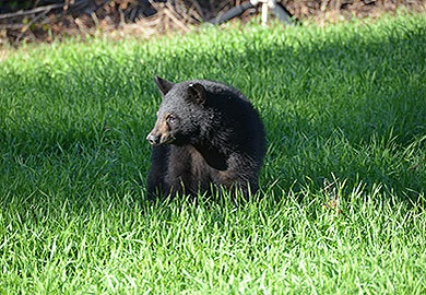 SCDNR biologists say the mere presence of a black bear does not necessarily represent a problem. Most bears are just passing through, but if there is an easy meal to be found, they will take advantage of it. Removing any food source that would attract bears will greatly reduce any bear issues in residential areas. (SCDNR photo)