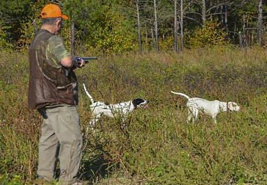 Field training young or inexperienced pointers is an integral part of successful quail hunting. SCDNR photo by David Lucas