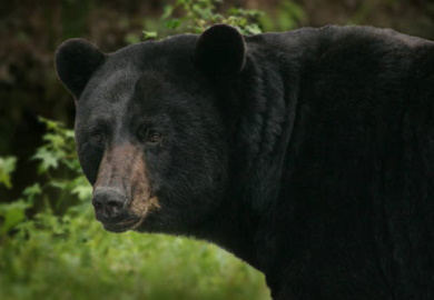 Bear hunting opportunities expand in the Upstate