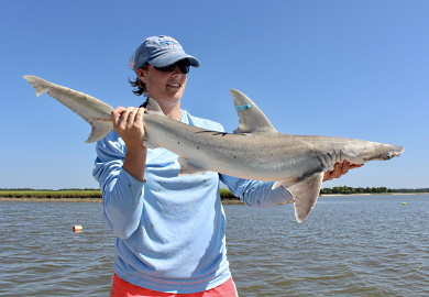 Bonnethead sharks subject of newly funded research