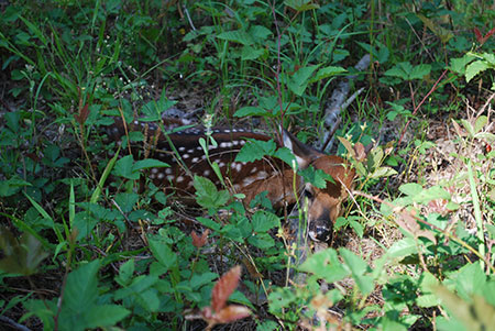 White-tailed deer fawn lying in grass.