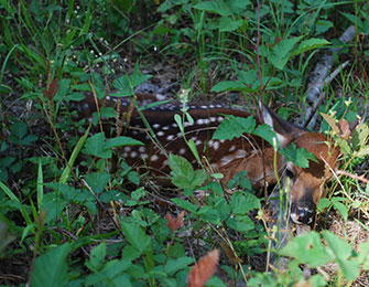"Leave ""lost fawns"" alone"