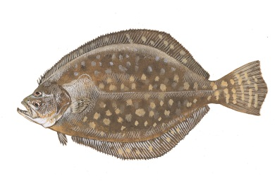 New size, bag limits for flounder starting July 1