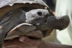 Thirty tortoises were released as part of the study- half of them hatchlings and half of them between the ages of one and two.
