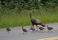 Wild Turkey Reproduction Holding Steady Across the State