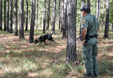 K-9 team training in the field. (SCDNR Photo by Taylor Main)