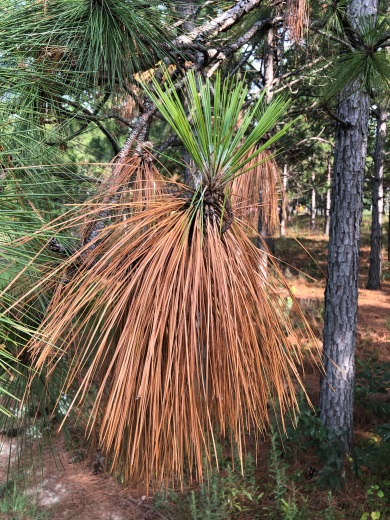 Sudden, extreme drought in certain areas of the South Carolina Sandhills and Coastal Plain is causing some longleaf pine trees to shed their needles early this year. (SCDNR photo by Johnny Stowe)