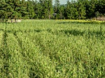 Browntop millet can provide quality forage in South Carolina.