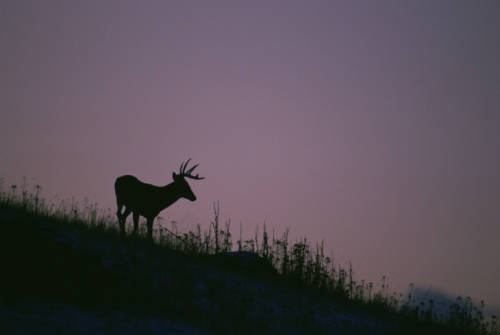 The silhouette of a White-tailed Deer standing on a hillside stands out against a purple sky at dusk. (USFWS)
