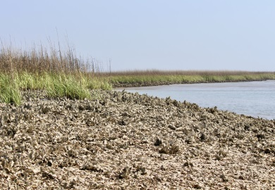 Shellfish grounds like the above oyster bed will close to public harvest on Friday, May 31, 2019. (Photo: E. Weeks/SCDNR)