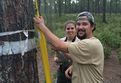 SCDNR and USFS translocated pair of red-cockaded woodpeckers (SCDNR photo)
