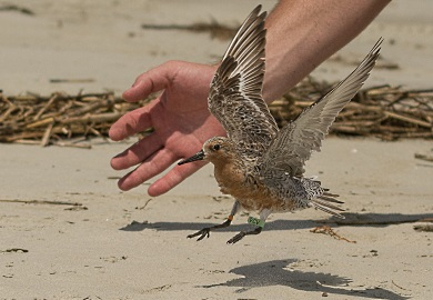 Every red knot caught by SCDNR researchers, including this bird released in 2017, sports a set of tags that will allow it to be identified if re-sighted anywhere else in the hemisphere. (Photo: Ed Konrad)
