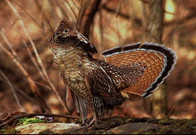 Help SCDNR find ruffed grouse in South Carolina with smartphone app