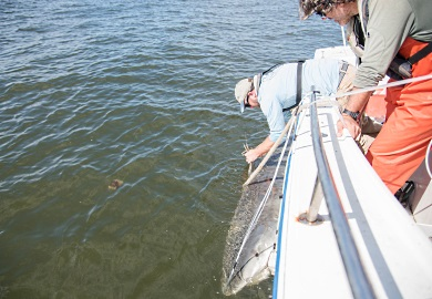 SCDNR biologist Bryan Frazier affixes the satellite tag to Harry-Etta's dorsal fin as College of Charleston's Gorka Sancho keeps the shark secured. (Photo: Taylor Main/SCDNR)