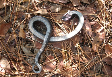 Serpiente Hocico de cerdo haciéndose pasar por muerta (Foto por Andrew Grosse)