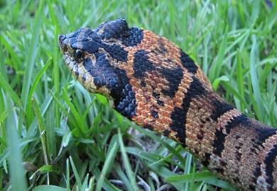 Serpiente Hocico de cerdo (Foto por Andrew Grosse)