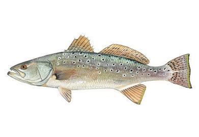 SCDNR urging catch and release to help spotted seatrout recover