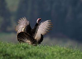 Wild Turkey - photograph by USFWS - photographer Ray G. Foster