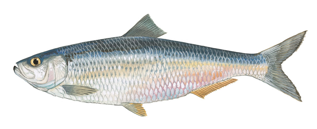 blueback herring click to enlarge photo